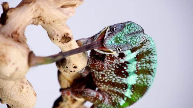 Vertical Chameleon video