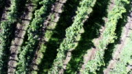 Vertical flight over the vineyards (drone video) video