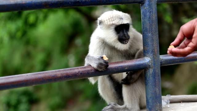 Vervet Monkey video