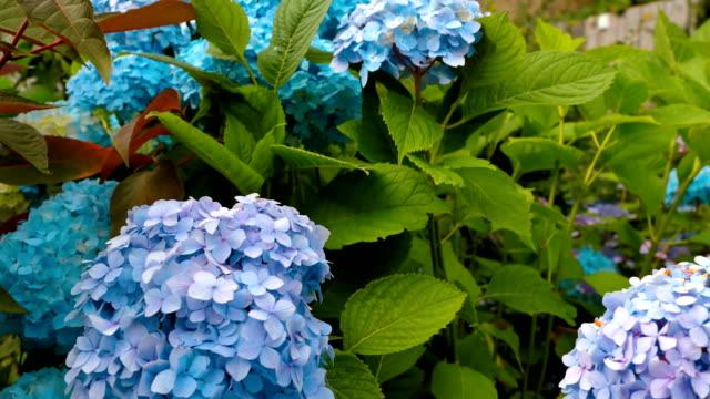 Very beautiful blue and purple hydrangeas. video