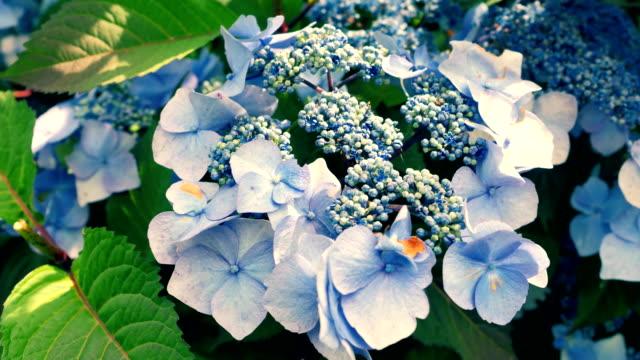 Very beautiful blue hydrangea close-up. video