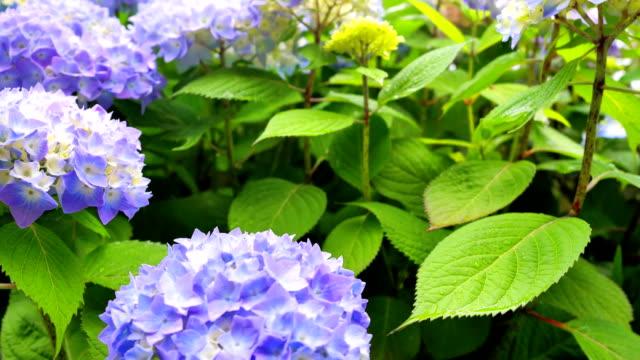 Very beautiful flowers of blue hydrangeas. video