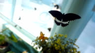 Very beautiful tropical butterflies flies with a slowdown in the 10 times. Slow mo, slo mo video