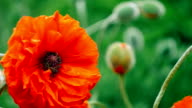 Very close big decorative red poppy flower in spring day, 1080p video