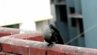 Very closeup footage of carrion Crow video
