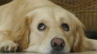 Very Cute Golden Retriever Dog with Curious Face video