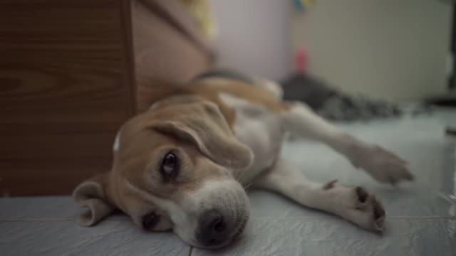 Very Cute sleeping beagle dog at night video