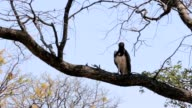 Very large eagle african Martial Eagle video