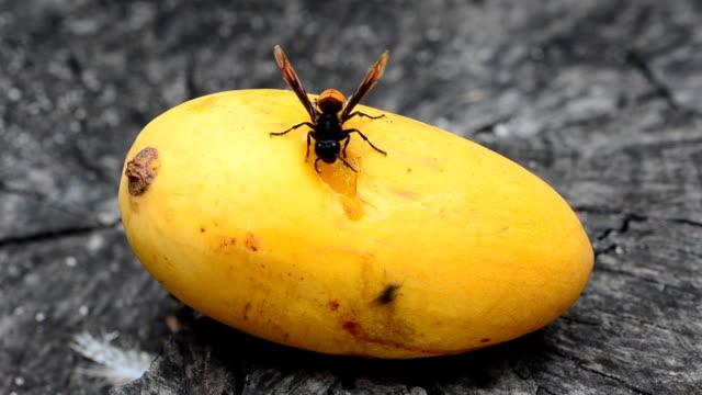Vespa bicolor, Paper wasp . video