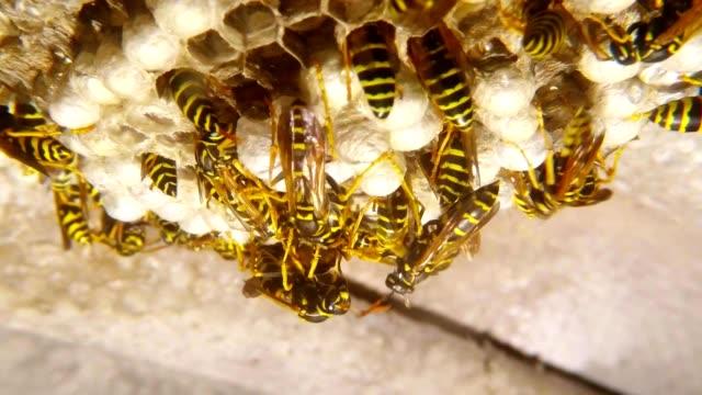 Vespiary Working Wasps Give Food Larvae Super Macro video