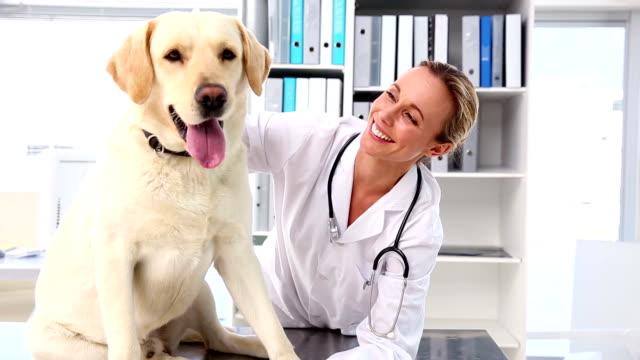 Vet checking a yellow labrador video