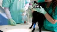 Vet preparing dog for surgery video