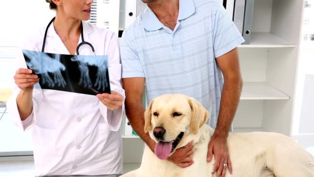 Vet showing xray to labradors owner video