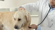 Vet Using Stethoscope On A Dog video
