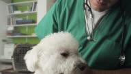 Veterinarian Examining A Little Dog video