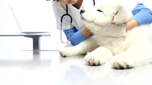 Veterinarian examining pet dog on table in vet clinic. exam of teeth, ears and fur. video