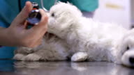 Veterinarian examining puppies ear video