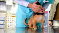 Veterinarian examining puppy video