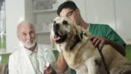 Veterinary examine Labrador video