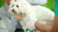Veterinary Surgeon Treating Dogs Leg video