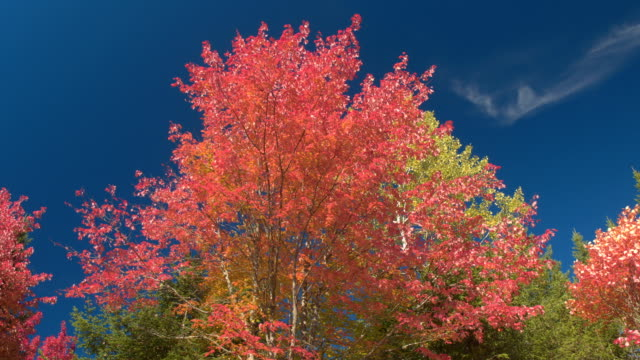 LOW ANGLE VIEW Vibrant turning leaves on birch and maple trees with fall foliage video