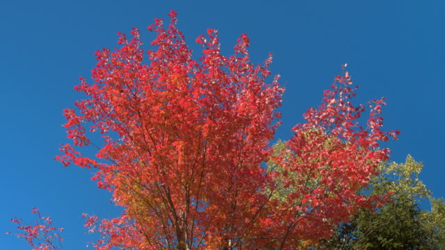 LOW ANGLE VIEW: Vibrant turning leaves on maple tree against blue sunny sky video