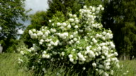 viburnum blossoming bush in spring wind video