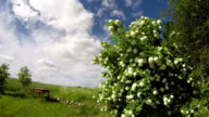Viburnum flowering in country, time lapse video