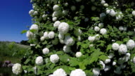 Viburnum flowering in countryside video