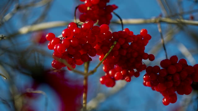 Viburnum on a Branch video