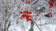 Viburnum opulus cluster of frozen red berries video