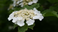 Viburnum or arrowwood blossom in spring video
