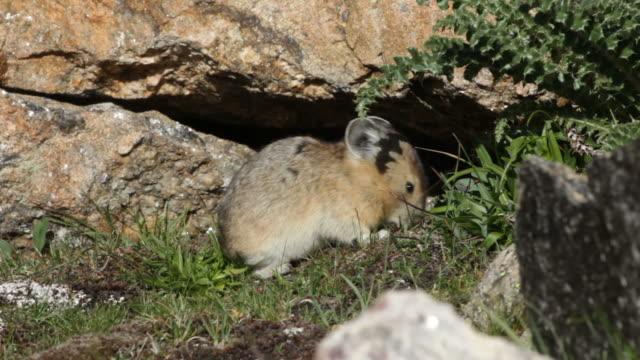 HD Video American Pika Eats Grass Rocky Mountain National Park video