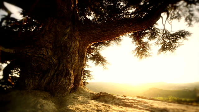HD video beautiful italian sunset with old tree dolly movement video