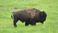 HD Video Bison Bull Lamar Valley Yellowstone NP Wyoming video