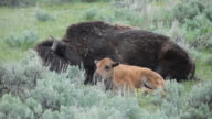 HD video bison calf Lamar Valley Yellowstone NP Wyoming video