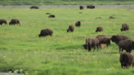 HD Video Bison Herd in Lamar Valley Yellowstone NP Wyoming video
