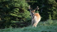 HD video Black-tailed deer Olympic NP Washington video
