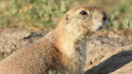 HD video Black-tailed prairie dog vocalizing video