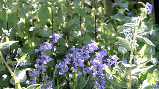 Video clip of bluebell flowers blowing in wind video