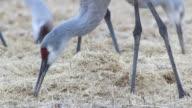 HD video Closeup Colorado Sandhill Cranes feeding video