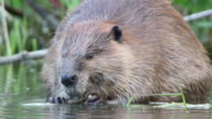 HD Video close-up large wild Colorado beaver eating video