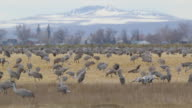 HD video Colorado Sandhill Cranes feed and dance video