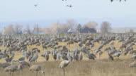 HD video Colorado Sandhill Cranes feed on grains video