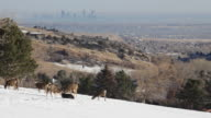 HD video Denver skyline and mule deer herd video