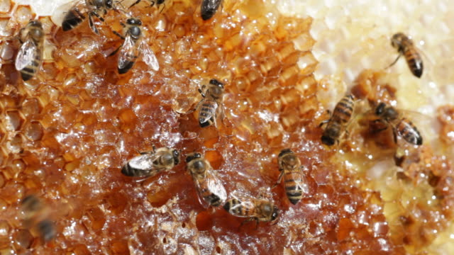 HD Video Honeybee colony on comb with honey Denver Colorado video