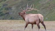 HD video impressive Colorado bull elk struts video