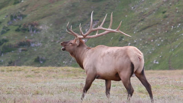 HD video impressive Colorado bull elk struts video