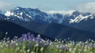 HD Video lupine and Olympic Mountains Washington video
