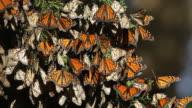 HD Video Migrating Monarch butterflies in Monterey Bay California video